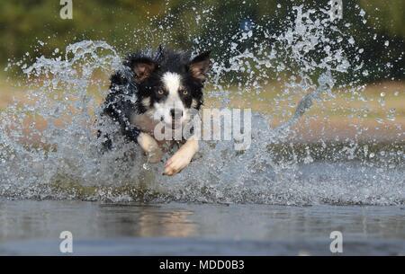Les chiens domestiques Banque D'Images