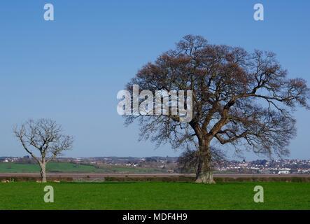 Paire de chêne anglais sans feuilles des arbres dans un champ de pâturage par l'Exe de l'estuaire. Offres et demandes de Powderham, Exeter, Devon, UK. Avril, 2018. Banque D'Images