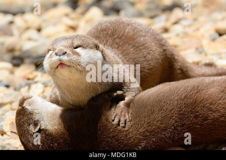 Portrait de deux otters de câlins Banque D'Images