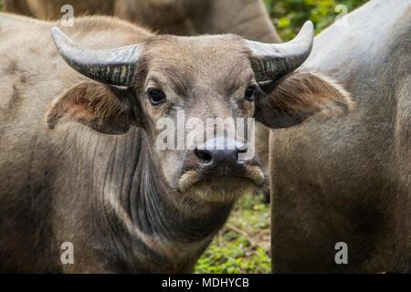 Close-up de buffles d'eau (Bubalus bubalis); Nongpet, Xiangkhouang, Laos Banque D'Images