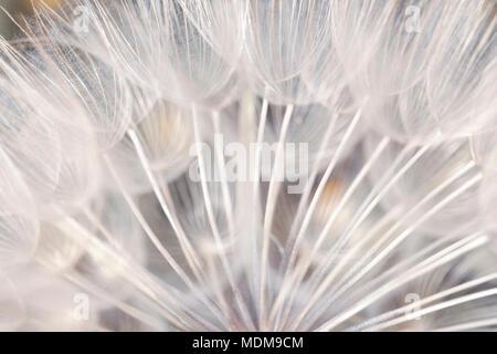 Close-up de graines de pissenlit en blanc lumière froide, éthérée, magique, extrêmement détaillée, effet 2 en 1. Banque D'Images