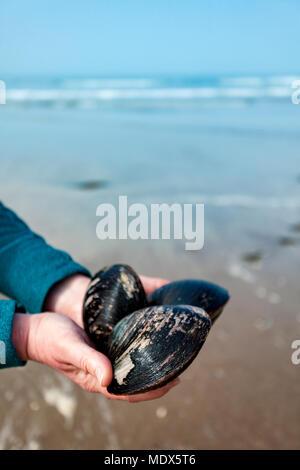 Le Nord du Pays de Galles, Royaume-Uni 20 avril 2018, UK Weather: un front météo restera dans le Royaume Uni pour les jours à venir et dans le week-end, les gens commencent à la tête à la plage avec cette personne forraging pour l'énorme Qhahog Les palourdes sur une plage sur Anglesy, au Pays de Galles © DGDImages/Alamy Live News