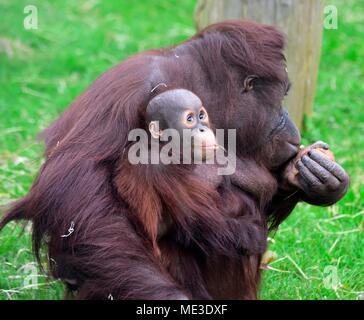 Bébé orang-outan de Bornéo avec mère Pongo pygmaeus Le zoo de Twycross UK Banque D'Images