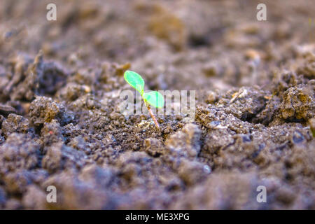 Les premières pousses vertes du semis des graines dans le sol Banque D'Images