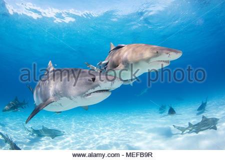 Requin tigre (Galeocerdo cuvier) et de citron (Negaprion brevirostris), Bahama Banks, Bahamas Banque D'Images
