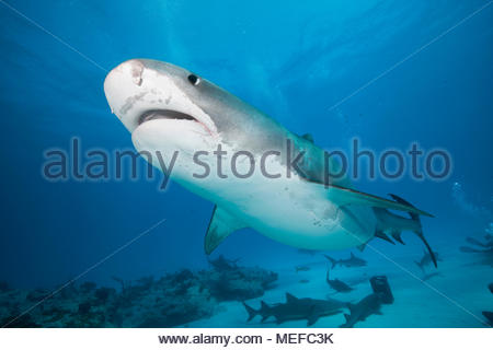 (Tigerhai Galeocerdo cuvier), Bahama Banks, Bahamas | requin tigre (Galeocerdo cuvier), Bahama Banks, Bahamas Banque D'Images