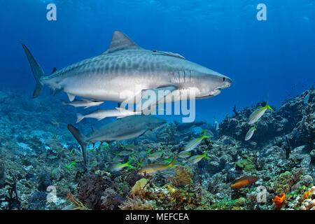 Requin tigre (Galeocerdo cuvier) avec sharksucker (sharksucker mince ou Echeneis naucrates), Bahamas Banque D'Images