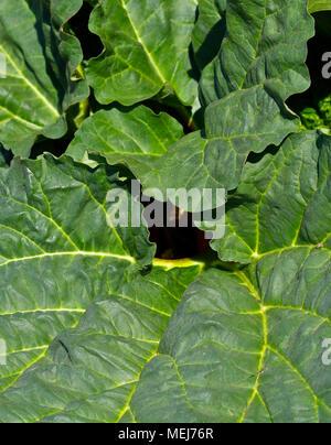 Feuilles de rhubarbe . Rheum Banque D'Images