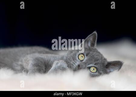 Portrait de Chartreux chaton couché sur la fourrure Banque D'Images