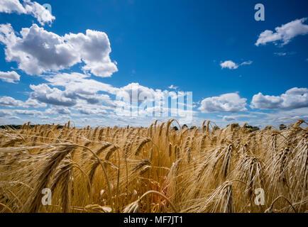 L'Autriche, l'Hoersching, champ de céréales, barley field Banque D'Images