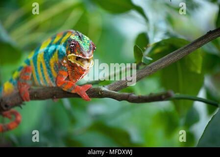 Caméléon panthère avec des couleurs vives sur une branche / colorful chameleon Furcifer pardalis Caméléon / / / Madagascar wildlife mounth ouvert Banque D'Images