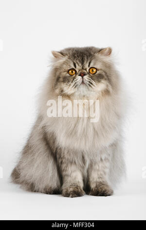 Chat domestique. Blue spotted Tabby Persan. Studio shot against white background. Date: 18.12.2008 ref: 126466 ZB538  0094 CRÉDIT OBLIGATOIRE: NHPA/Pho