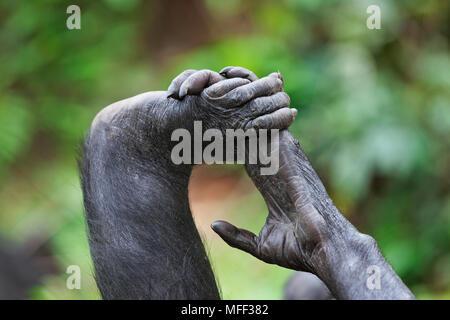 Bonobo/chimpanzé pygmée (pan paniscus) part embrassantes, pied, montrant chiffres opposables, sanctuaire Lola Ya Bonobo chimpanzé, République démocratique du C Banque D'Images