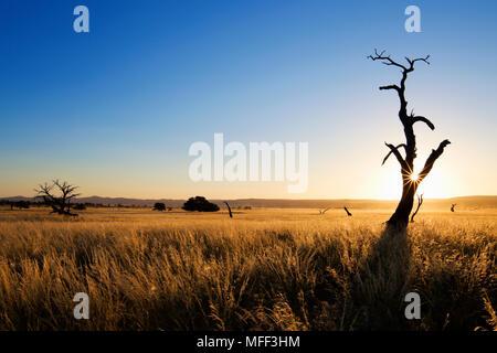 Thorn Tree au coucher du soleil. Montrant l'écologie unique de paysages du sud-ouest du désert du Namib ou pro-Namib. NamibRand Nature Reserve, Namibie