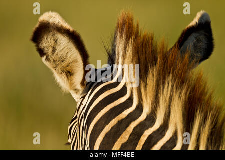 Le Zèbre de Grévy (Equus grevyi) Kenya Banque D'Images