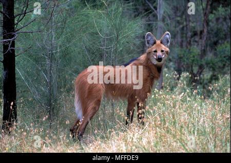 Le loup à crinière Chrysocyon brachyurus Amérique du Sud en voie de disparition Banque D'Images