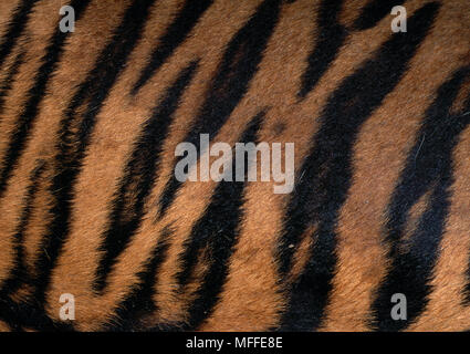 Tigre du Bengale Panthera tigris close-up motif peau montrant Banque D'Images