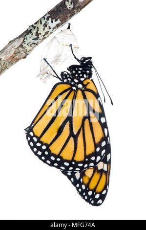 Papillon monarque, Danaus plexippus, émergeant de Cocoon, Canada Banque D'Images