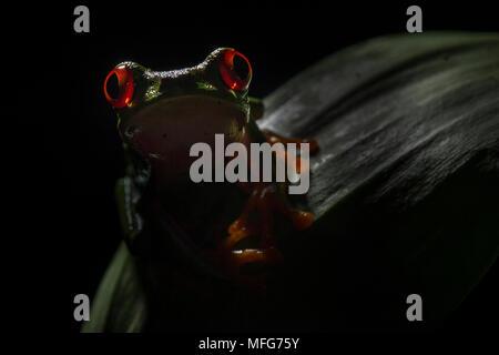 Une grenouille aux yeux rouges en calidryas Agalychnis Parc National de Tortuguero Costa Rica Banque D'Images