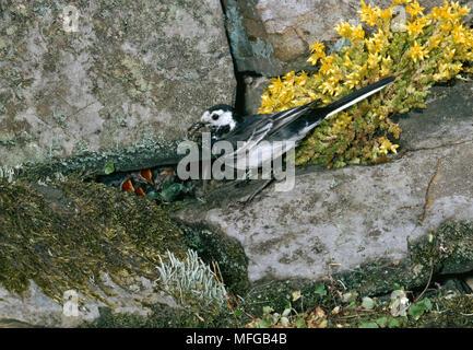 Bergeronnette PIE Motacilla alba yarellii nourrir les jeunes au nid dans mur de pierre suceur plat