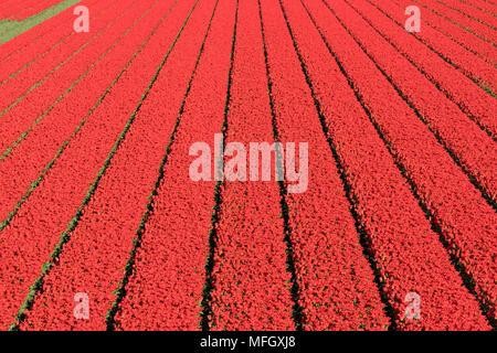 Champ de tulipes aux Pays-Bas