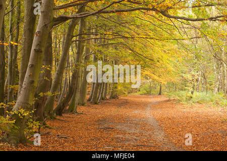 Couleurs d'automne dans les bois de hêtre Bois à Wombwell, Barnsley, South Yorkshire, Yorkshire, Angleterre, Royaume-Uni, Europe