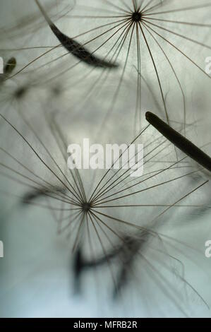 Close up de graines de pissenlit qui souffle dans l'air. Banque D'Images
