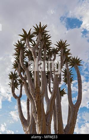 Quiver Tree ou Kokerboom (Aloe dichotoma) contre un ciel nuageux, la Namibie Banque D'Images