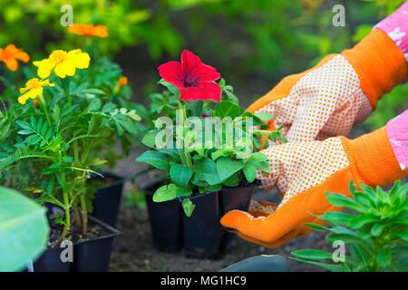 Le jardinage, les semis, fleurs, plantes Woman holding flower planter dans jardin, woman's hands dans des gants de jardinage
