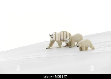 Mère ours polaire et 2 oursons de l'année balade sur un iceberg, l'île de Baffin, Nunavut, Canada, Arctique Banque D'Images