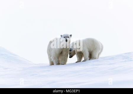 Mère ours polaire et les oursons debout sur un iceberg, l'île de Baffin, Nunavut, Canada, Arctique Banque D'Images