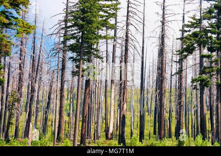 Une forêt montrant des cicatrices d'un incendie alors que la nouvelle croissance s'installe le long du sol de la forêt. Banque D'Images