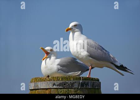 European du goéland argenté (Larus argentatus), paire d'animaux assis sur pilier, appelant, côte de la mer du Nord, Schleswig-Holstein, Allemagne
