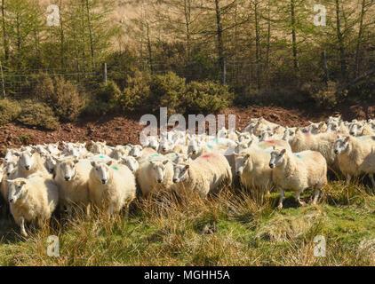 Troupeau de moutons Banque D'Images