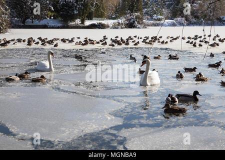 Cygnes et canards nageant dans un lac gelé lors d'une journée d'hiver ensoleillée. Prises à Ambleside Park, West Vancouver, British Columbia, Canada. Banque D'Images