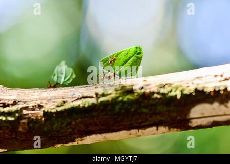 Les fourmis transportent sur les feuilles Banque D'Images