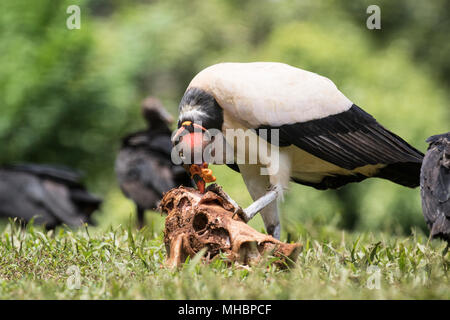 Vautour roi Sarcoramphus papa des profils qui se nourrissent de la carcasse, Laguna de Lagarto, Costa Rica Banque D'Images