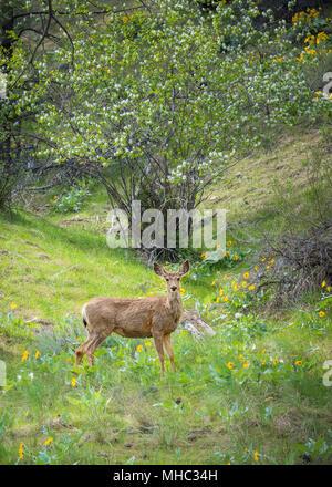Le cerf mulet doe debout dans la forêt et à la recherche à l'appareil photo avec l'herbe verte et de fleurs sauvages en fleurs Banque D'Images