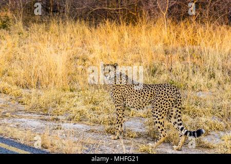 Cheetah debout au bord de la route dans le parc national de Hwange, Zimbabwe. Banque D'Images