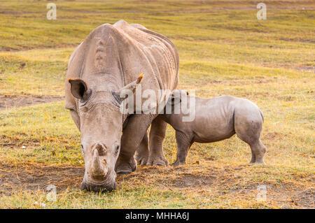 Petit bébé de rhinocéros blanc et sa mère au Kenya, Afrique Banque D'Images