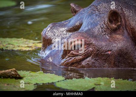 Hippopotamusin Kruger National Park, Afrique du Sud; espèce de la famille des Hippopotamidae Hippopotamus amphibius Banque D'Images