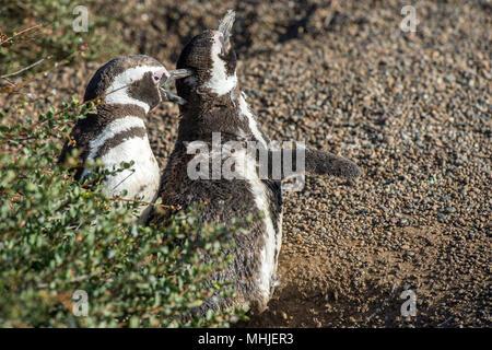 Patagonie penguin portrait sur la plage en vous regardant