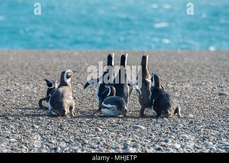 Patagonie penguin group en marchant sur la plage
