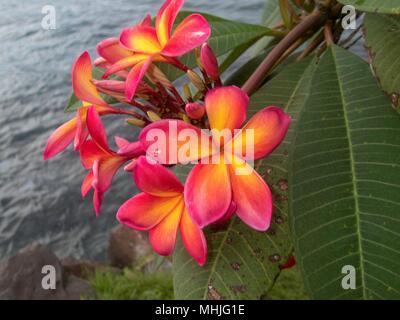Close up of Pink Plumeria fleurs sur l'île de Truk, Eten Banque D'Images