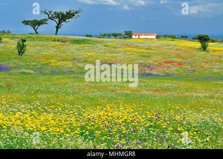 Champ vert recouvert de jaune, bleu et rouge fleurs sauvages entourant une petite maison de ferme blanche au printemps Banque D'Images