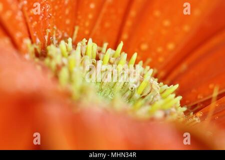 Résumé d'une orange gerber daisy macro avec les gouttelettes d'eau sur les pétales. L'extrême profondeur de champ avec selective focus sur le centre. Banque D'Images