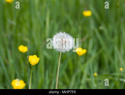 Taraxacum officinale. Dandelion seedhead et renoncules dans un pré.