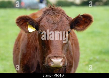 Shorthorn boeuf cow head shot le pâturage dans le Yorkshire du Nord.