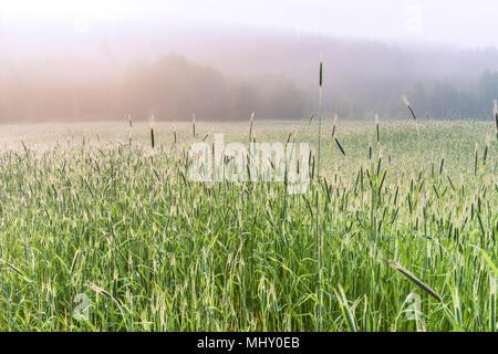 Un matin brumeux dans le champ de blé de printemps, région de Kiev, Ukraine. Banque D'Images