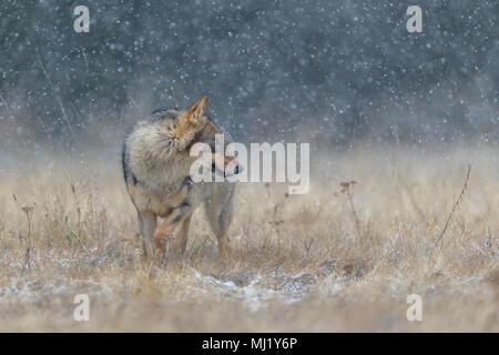 Le loup (Canis lupus), dans une prairie de fortes chutes de neige, Parc National peu Fatra, Slovaquie Banque D'Images